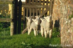 Sheep_GSMNP